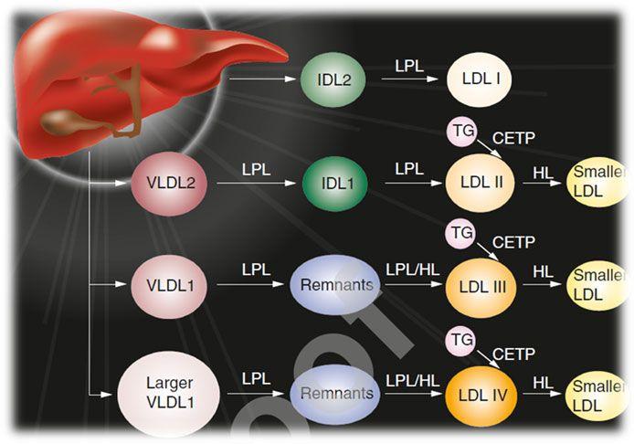 Diagramm verschiedener Lipoproteine