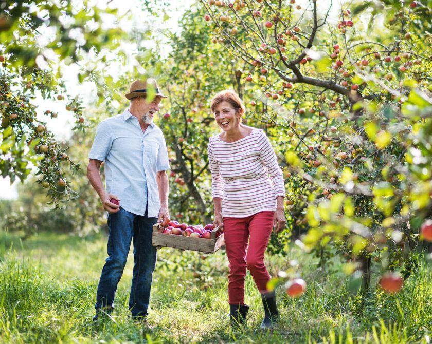Ein Ehepaar sammelt in einem Apfelbaumfeld Äpfel in einem Korb, den sie zusammen tragen