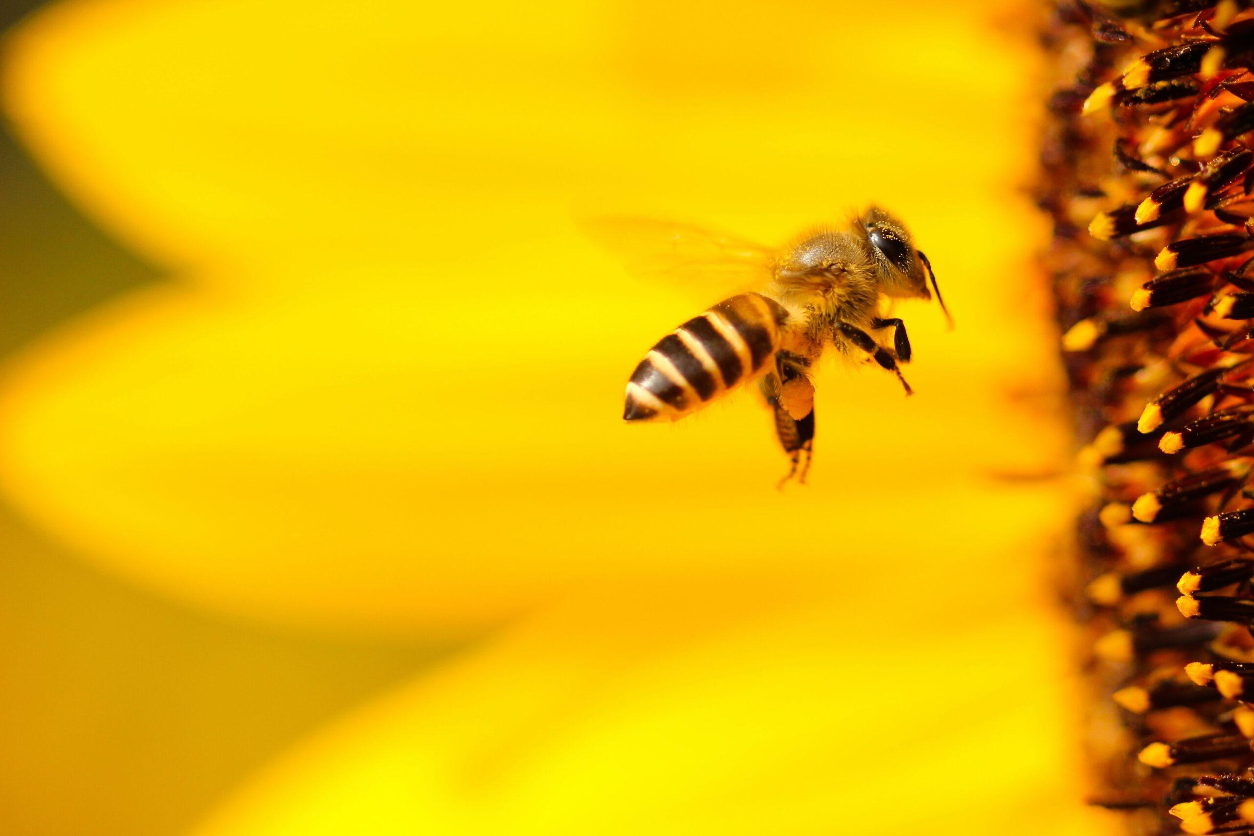 Eine Biene fliegt auf eine Sonnenblume zu