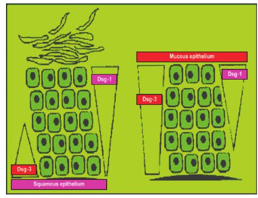 Illustration von DSG1 und DSG3 Antikörper