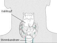 Zeichnung des Kehlkopfs von vorne