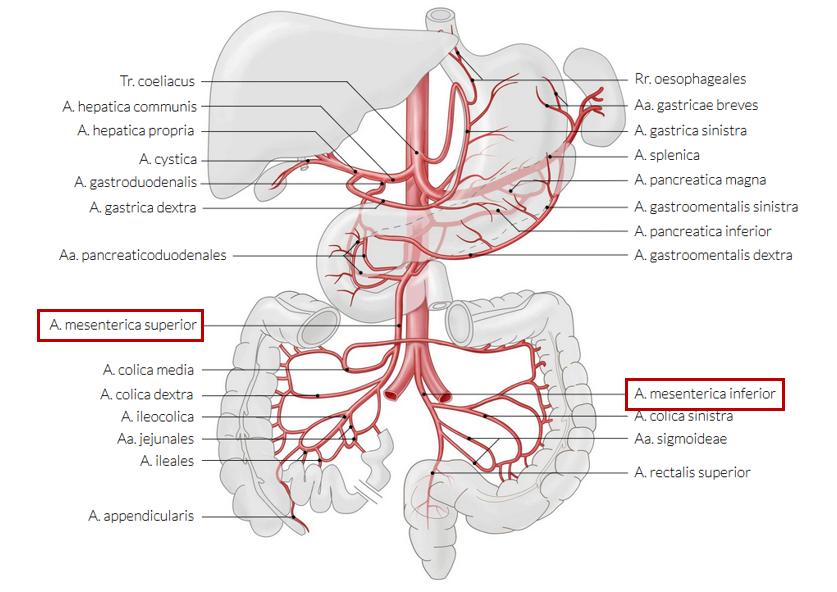 Illustration von Gefässen um Organe