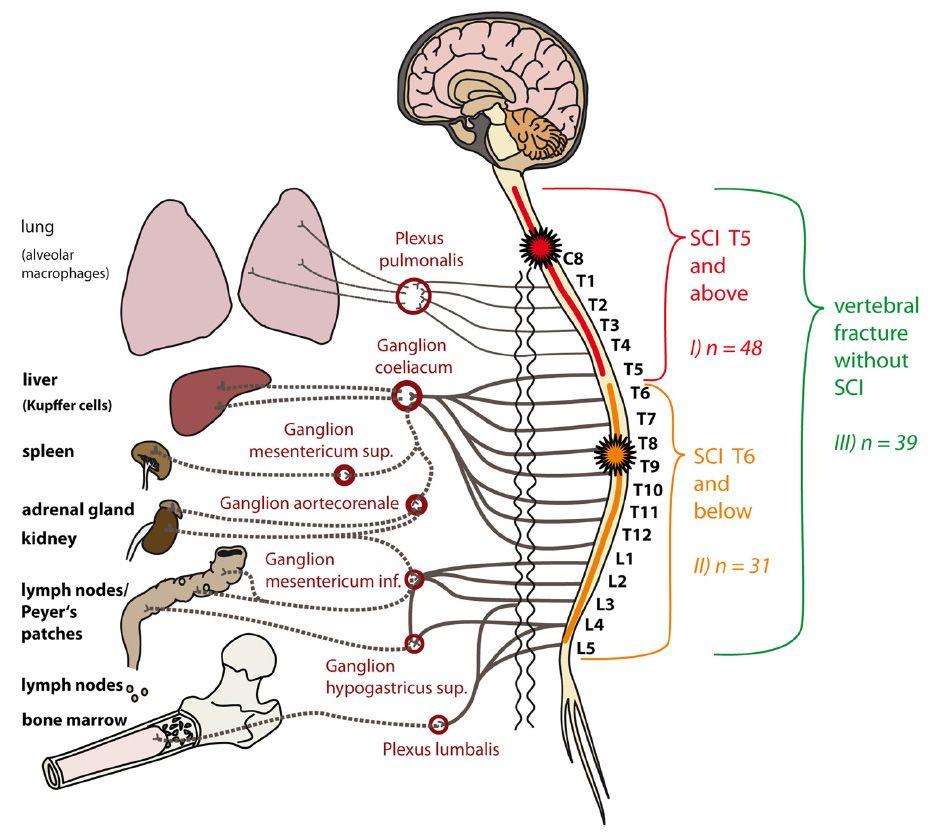 Zusammenhang Immunsystem und zentrales Nervensystem