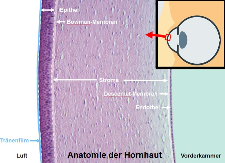 Illustration der Anatomie der Hornhaut